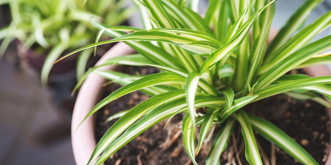 Improve Indoor Air Quality With 3 Indoor Plants Prana Air